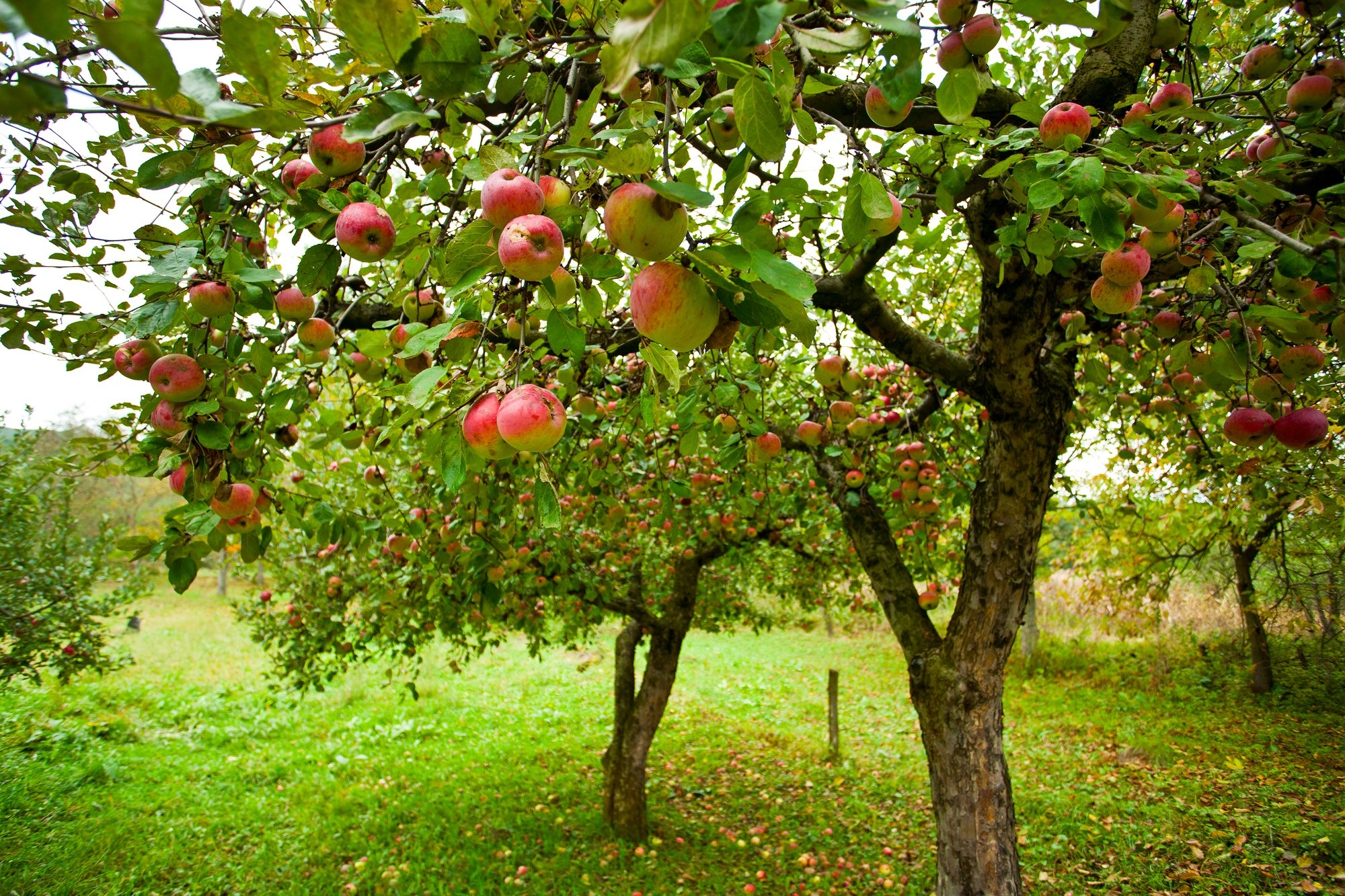 Apple Tree Day Days Of The Year