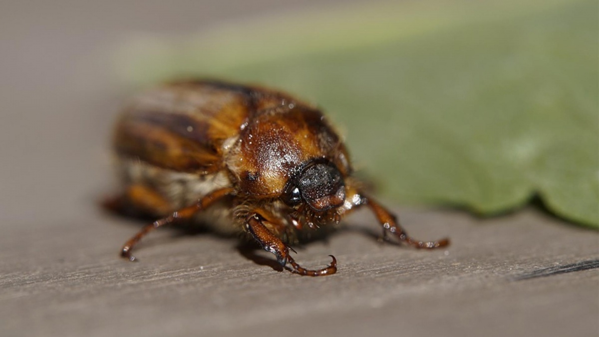 This Months Bug The June Bug Catseye Pest Control