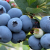 Pick Blueberries Day 2019