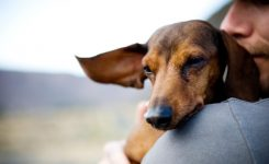 Dachshund Pregnancy Care 1001doggy