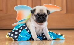 House Of Pugs Kc Reg Girl Fawn Pug Puppy Doncaster South
