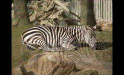 San Francisco Tourist Attractions San Francisco Zoo Animals Youtube