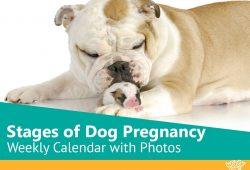 Bulldog Pregnancy Calendar