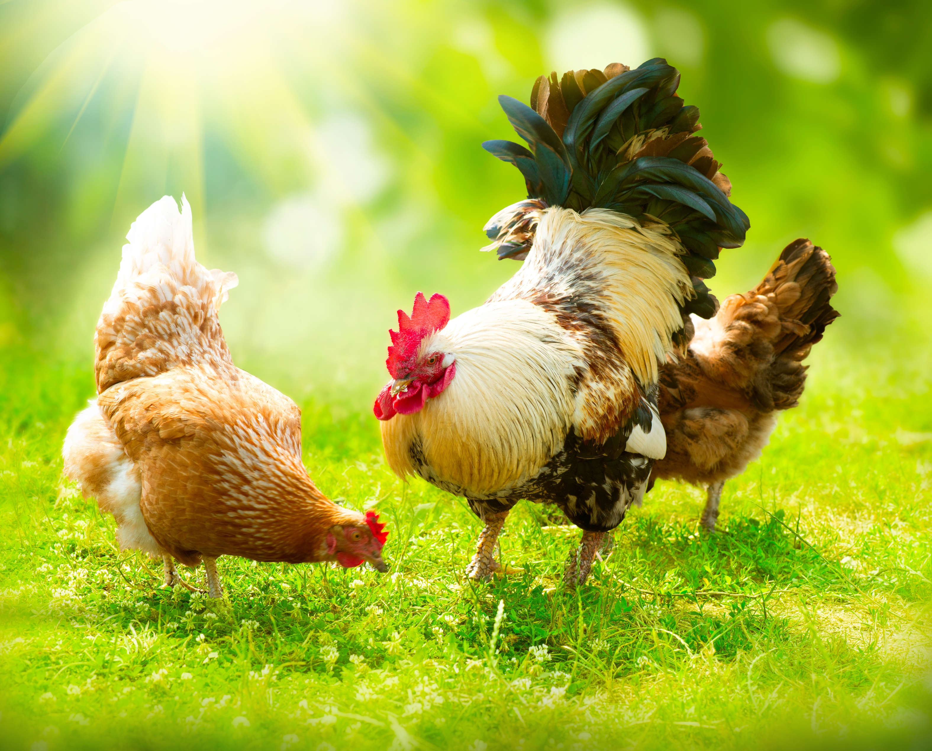 Poultry Day Days Of The Year