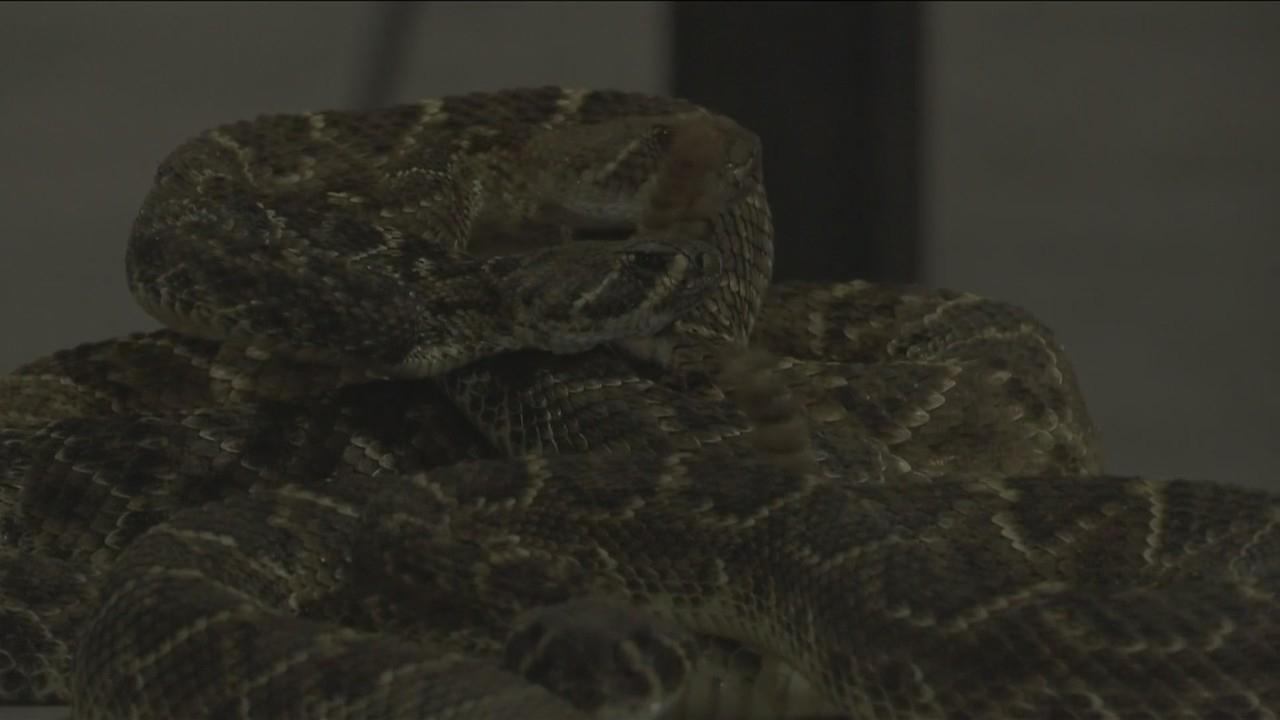 Rattlesnake Roundup Day 2019